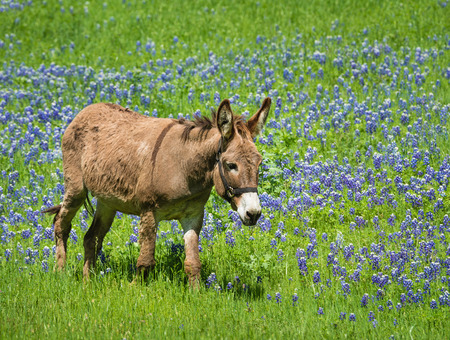 bluebonnet: Donkey grazing on bluebonnet pasture in Texas spring
