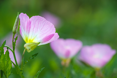 Pink Evening Primrose (oenothera speciosa) aka pinkladies wildflowers blooming on spring meadow, closeup. Natural green background with copy space.