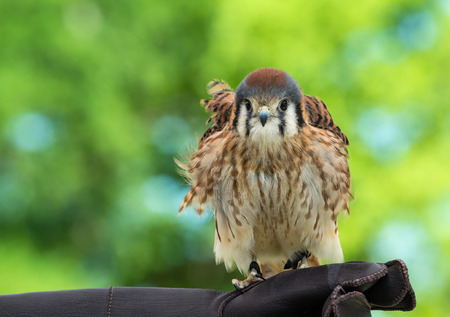 sparrowhawk: American Kestrel (Falco sparverius), the smallest falcon in North America, green background with copy space.
