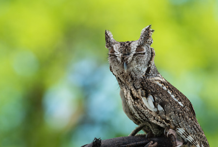 Portrait of Eastern Screech Owl (Megascops asio), against green background with copy space photo