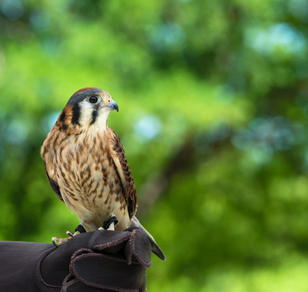 smallest: American Kestrel (Falco sparverius), the smallest falcon in North America, green background with copy space.