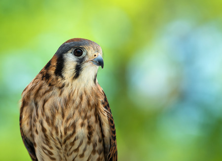 sparrowhawk: Portrait of American Kestrel (Falco sparverius), the smallest falcon in North America. Natural green background with copy space.