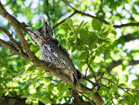 Eastern Screech Owl (Megascops asio) perched on tree branch photo
