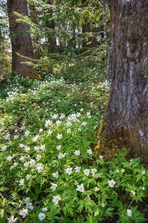 anemones: Field of Wood Anemones flowering in forest in early spring Stock Photo