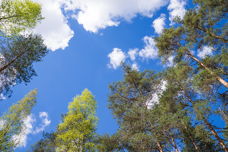 Tree tops against blue sky and white clouds