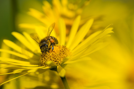 pollinator: Honey bee pollinating yellow daisy flowers in the spring copy space Stock Photo