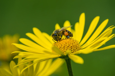pollinator: Honey bee pollinating yellow daisy flowers in the spring Stock Photo