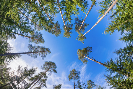 sun rise: Tall pine tree tops against blue sky and white clouds