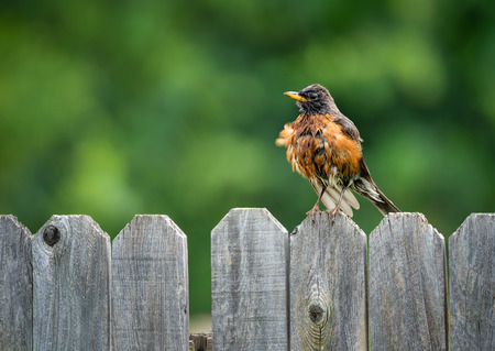 American robin (Turdus migratorius) fluffing feathers and standing on backyard fence. Natural green background with copy space.