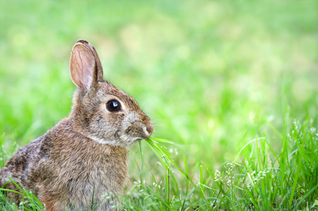 Cute Cottontail bunny rabbit munching grass in the garden, natural green background with copy space