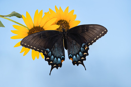 Eastern Tiger Swallowtail butterfly (Papilio glaucus) on sunflowers. Blue sky background. Stock Photo