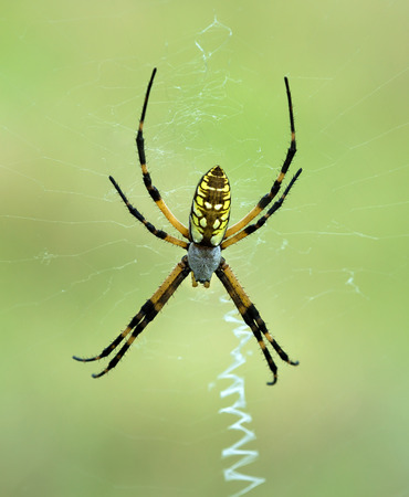 argiope: Black and Yellow Garden spider (Argiope aurantia) making a web, natural green background Stock Photo