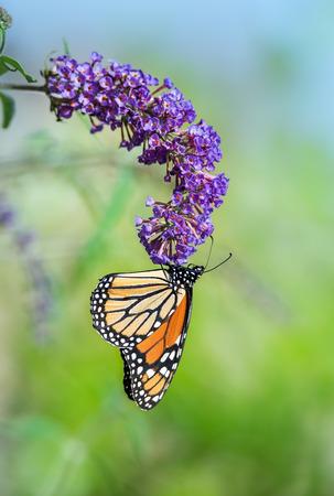 plexippus: Monarch butterfly (Danaus plexippus) feeding on purple butterfly bush flowers, natural green background with copy space Stock Photo