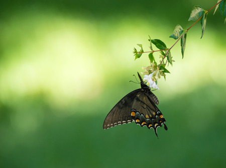 papilio: Eastern Tiger Swallowtail butterfly (Papilio glaucus) feeding on garden flowers. Natural green background with copy space. Stock Photo