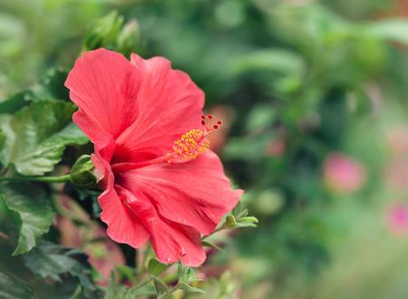 red flower: Pink Hibiscus flower blooming in garden