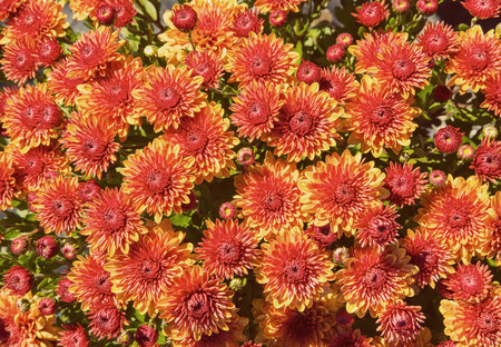 mums: Autumn Mums or Chrysanthemums for flower background. Vintage filter effects.