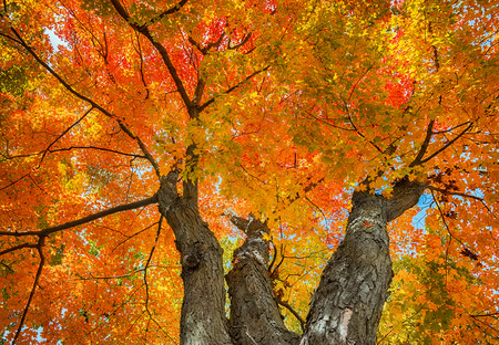 huge tree: Upward view of a large maple tree with red, yellow, and orange autumn leaves against sky. Nature background.