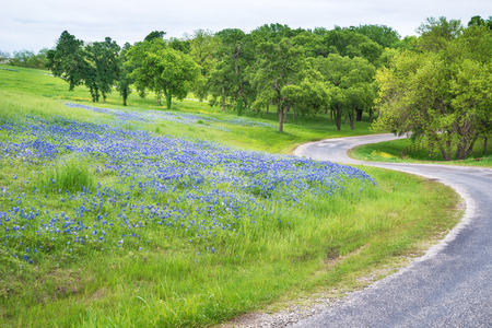 bluebonnet: Bluebonnet flower field along curvy country road in Texas spring