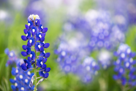 bluebonnet: Texas Bluebonnet flower (Lupinus texensis) Stock Photo