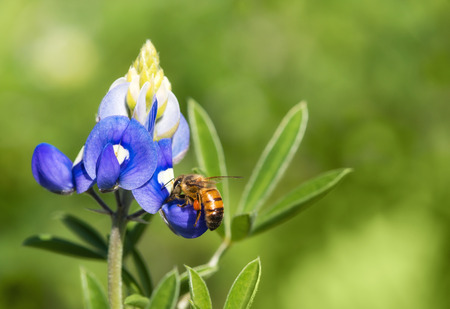 bluebonnet: Bee pollinating Texas bluebonnet wildflower in the spring Stock Photo