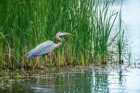 herodias: Great Blue Heron (Ardea herodias) in the reeds on a lake