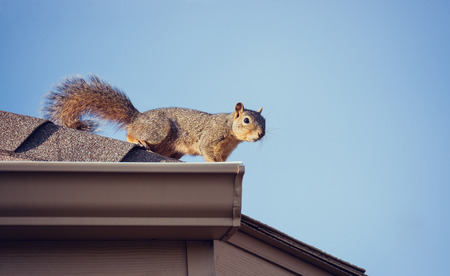 Squirrel on the roof top. Blue sky background with copy space.