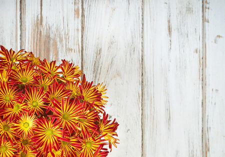 mums: Bright red yellow Mum or Chrysanthemum flowers. Vintage wooden background with copy space.