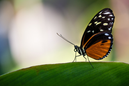 longwing: Tiger Longwing butterfly (Heliconius hecale), aka Golden Helicon, perched on a leaf