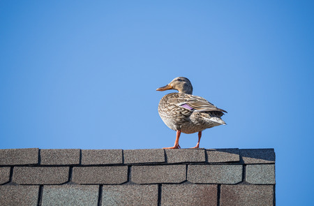 anas platyrhynchos: Female Mallard duck (Anas platyrhynchos) on the roof top. Blue sky background with copy space. Stock Photo