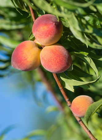 ripening: Sweet peaches ripening on peach tree branch in the garden, closeup