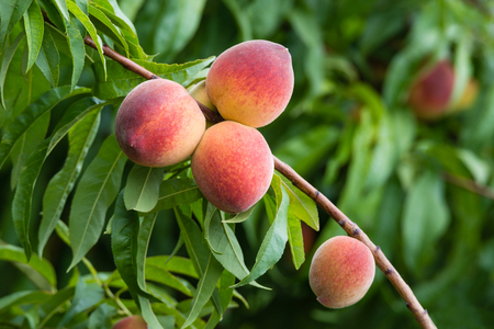 ripening: Sweet peaches ripening on peach tree branch in the garden
