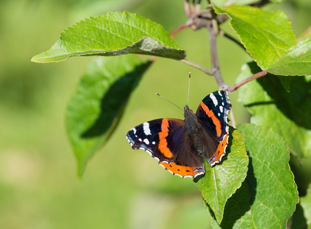 admiral: Red Admiral butterfly (Vanessa atalanta) basking on an apple tree leaf
