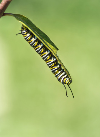 danaus: Monarch butterfly caterpillar feeding on garden milkweed. Natural green background with copy space. Stock Photo