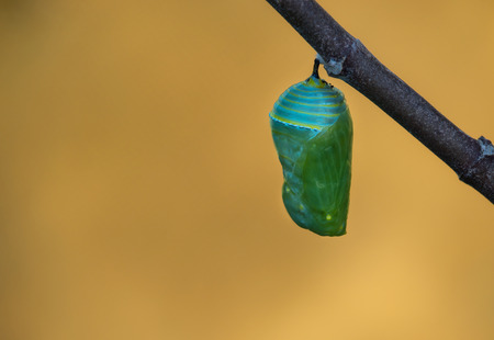 pupae: Monarch butterfly pupae on milkweed branch, copy space Stock Photo