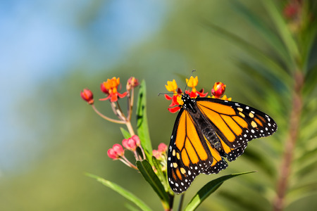 emerged: Newly emerged Monarch butterfly (Danaus plexippus) on tropical milkweed flowers