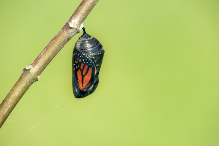Monarch butterfly chrysalis hanging on milkweed branch. Natural green background with copy space. Foto de archivo