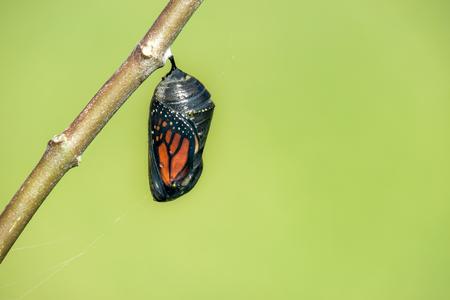 Monarch motýl kukla visí na větvi milkweed. Přírodní zelené pozadí s kopií vesmíru.