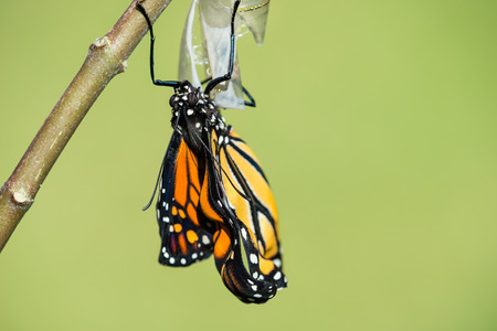 danaus: Monarch butterfly (danaus plexippus) emerging from the chrysalis. Natural green background with copy space.