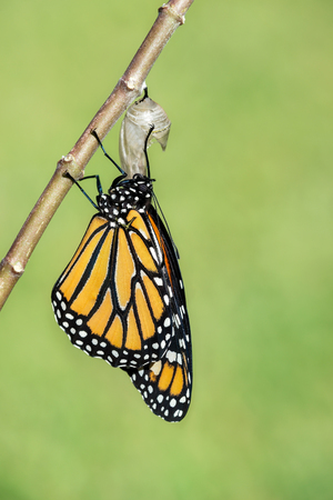 emerged: Monarch butterfly (danaus plexippus) emerging from the chrysalis. Natural green background with copy space.