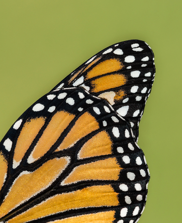 plexippus: Closeup details of Monarch butterfly (danaus plexippus) wing against natural green background