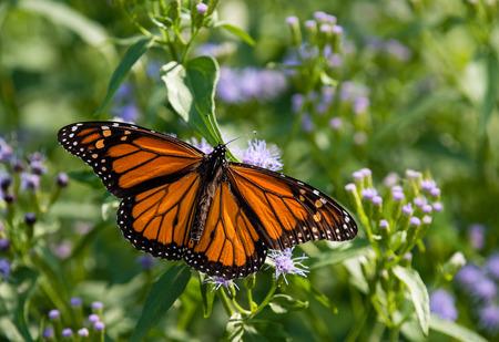 plexippus: Male Monarch butterfly (Danaus plexippus) feeding on Greggs Mistflowers (Conoclinium greggii) in the fall
