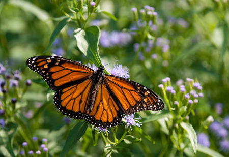 Male Monarch butterfly (Danaus plexippus) feeding on Greggs Mistflowers (Conoclinium greggii) in the fall