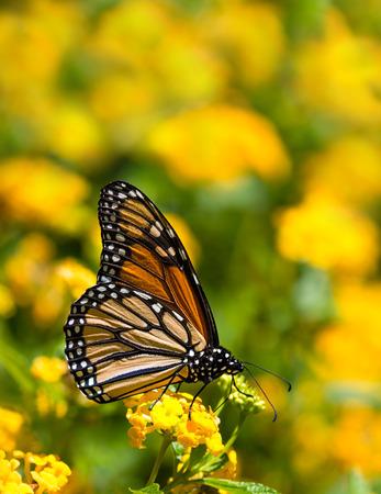 plexippus: Monarch butterfly (Danaus plexippus) feeding on yellow Lantana flowers in the fall