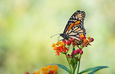 amarillo y negro: mariposa monarca (Danaus plexippus) alimentándose de flores de algodoncillo tropicales en el otoño. Natural de fondo verde con copia espacio.