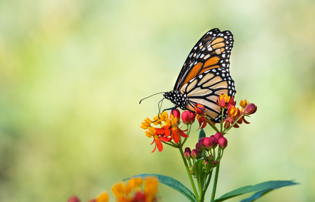Monarch butterfly (Danaus plexippus) feeding on tropical milkweed flowers in the fall. Natural green background with copy space. Banco de Imagens