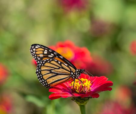 Mariposa monarca (Danaus plexippus) alimentándose de flor roja del Zinnia Foto de archivo - 65509526