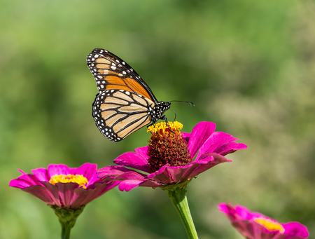 Monarch butterfly (Danaus plexippus) feeding on pink Zinnia flower. Natural green background with copy space. Stock Photo