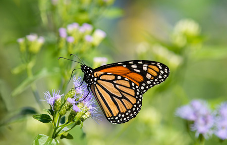 Monarch butterfly (Danaus plexippus) feeding on Greggs Mistflowers (Conoclinium greggii) in the fall Stockfoto