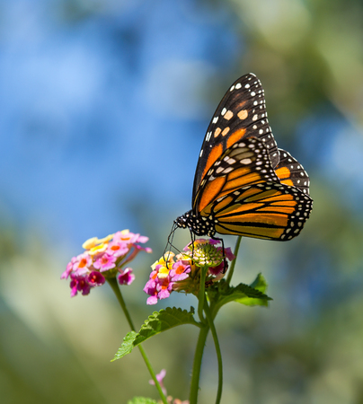 plexippus: Monarch butterfly (Danaus plexippus) feeding on Lantana flowers