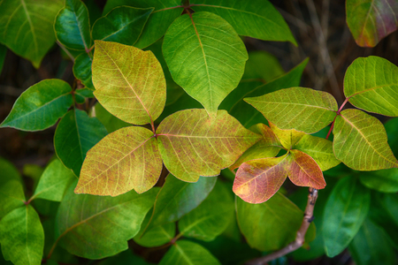 Leaves of Poison Ivy plant, Toxicodendron radicans Imagens